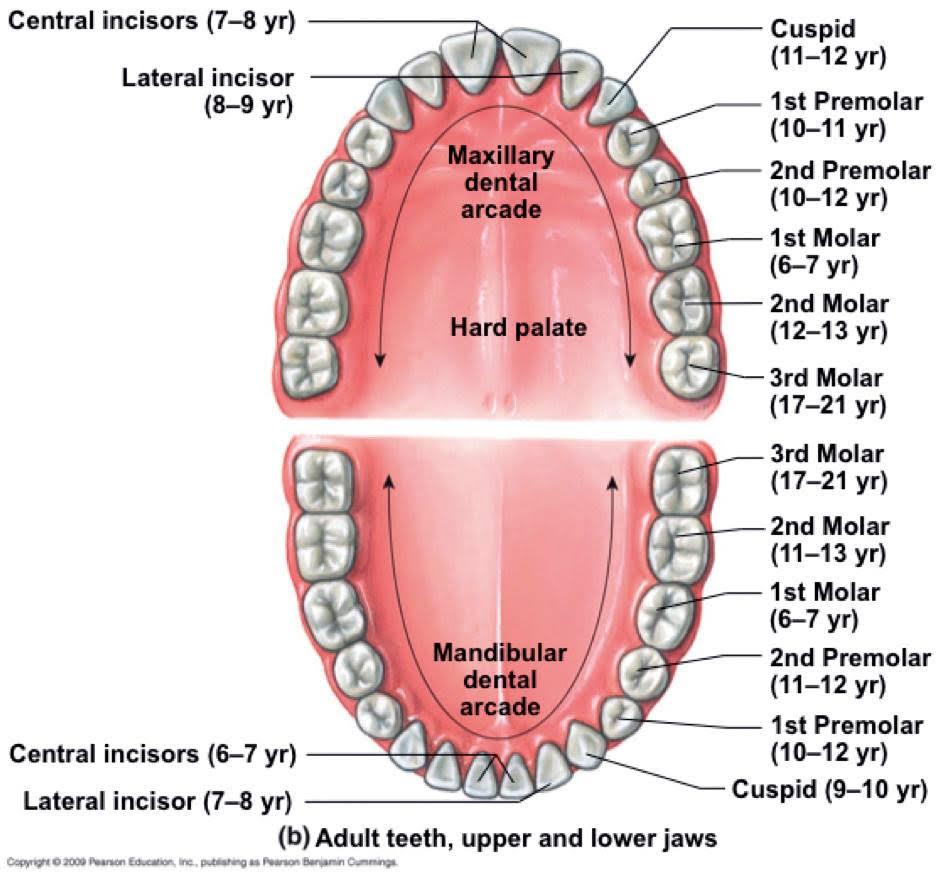 Anatomia cavității bucale